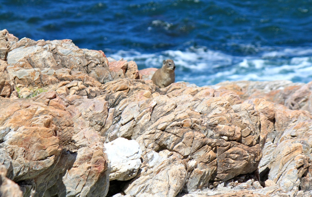 dassie rat in hermanus, namrata singh